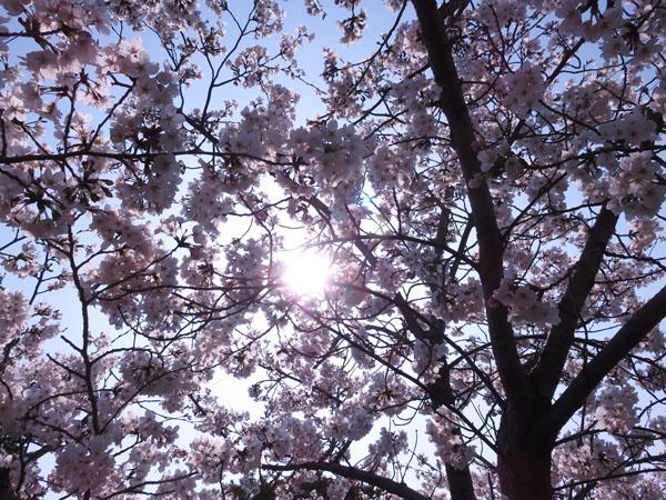 2018 桜